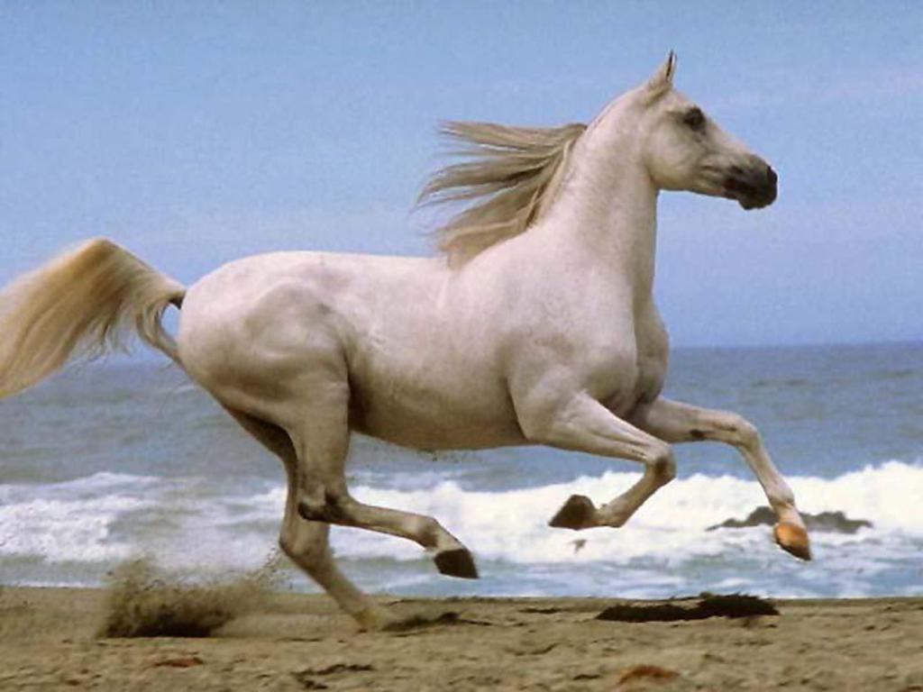 Häst galopp