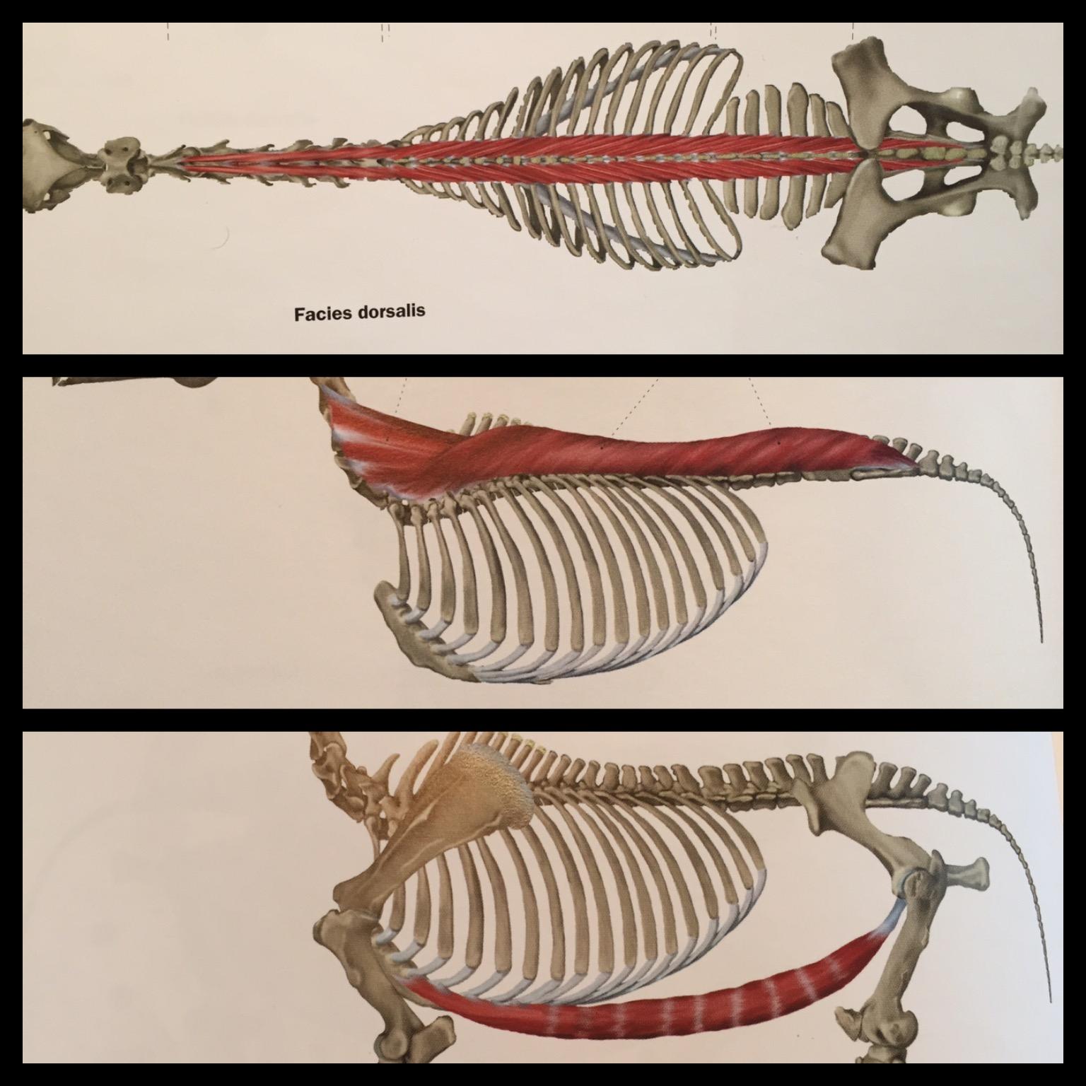 muskler rygg