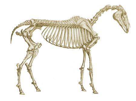 Hur man stärker hästens rygg